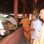 Radhanath Swami with cows