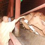 Radhanath Swami happy to see cows without halters.